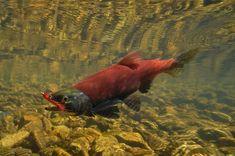 Fly fishing photos of Eastern Sierra Kokanee salmon, over and underwater Going Fishing, Fishing Boats, Fly Fishing, Salmon Run, Sockeye Salmon, Salmon Flies, Brown Trout, Salmon Fishing, Freshwater Fish