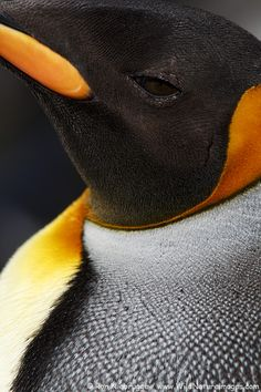 King Penguin by Ron Niebrugge
