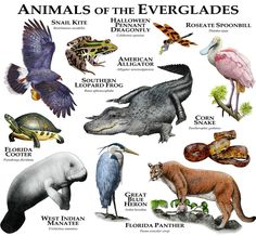 Animals of the Florida Everglades by rogerdhall on DeviantArt
