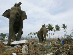 Tsunami: il y a 10 ans, la désolation de Banda Aceh - Des éléphants, ici Ida et Medang, ont permis de déblayer les plages de la côte.  En savoir plus sur http://www.lexpress.fr/diaporama/diapo-photo/actualite/monde/asie/en-images-tsunami-il-y-a-10-ans-la-desolation-de-banda-aceh_1624110.html?p=13#xdJ2tKBVVRARdW3A.99