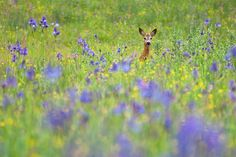 Roe deer among Siberian iris, Capreolus capreolus and Iris sibirica, Poloniny national park, Slovakia. The roe deer was hunted to near extinction in many European countries during the 19th century, but thanks to strictly enforced hunting regulations and changes in attitudes and land use, the roe deer is once again common in most of Central, Western and Northern Europe, even taking to our gardens and parks. Its white-spotted fawn is the real Bambi from the original storybook. The 298 sq km…
