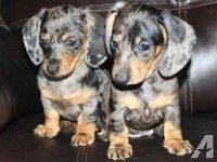 dapple dachshund puppies for sale - Yahoo Image Search Results Dapple Dachshund Miniature, Dapple Dachshund Puppy, Dachshund Puppies For Sale, Cocker Spaniel Puppies, Mini Dachshund, Dogs And Puppies, Puppies Tips, Miniature Dachshunds, Rottweiler Puppies