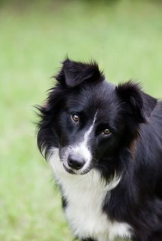 All Border Collie Rescue is a not for profit volunteer rescue organization dedicated to the rescue of Border Collies from Shelters. Big Dog Little Dog, Big Dogs, I Love Dogs, Cute Dogs, Dogs And Puppies, Border Collie Rescue, Border Collies, Dog Photos, Dog Pictures