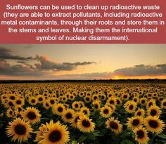 #FunFactFriday good thing we are in the Sunflower state! Who knew they were more than just a pretty face?