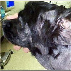 Cocker spaniel with a mixed infection. Yeast are present on the face and bacteria were detected in the ears. This dog has a combination of inhalant and food allergies.