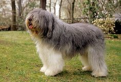 12 large and medium hypoallergenic breeds to consider when adopting   Dog Lovers Today
