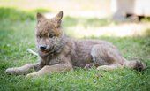 Orphaned wolf pup to become ambassador for species
