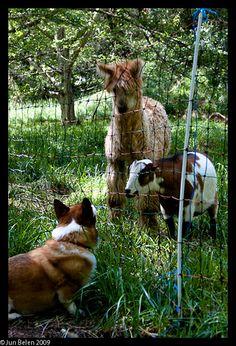 Corgi makes new friends