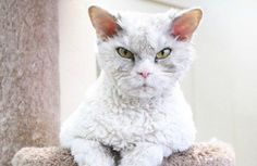 Could 'Pompous Albert' Be the Next Grumpy Cat? - saved this for the pet ice cream recipe and article