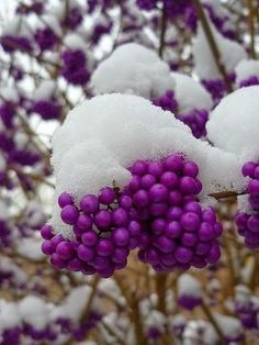 Snow-capped pearls of purple