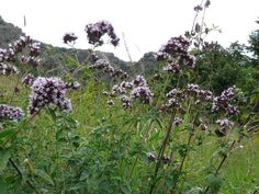 Sovarv (Origanum vulgare)