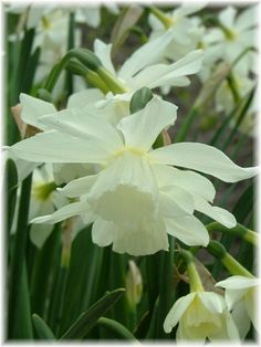 In Focus: Triandrus Narcissus Thalia