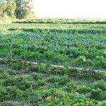 Pertanian Organik Secara Intensif Dapat Mencemari Air Tanah