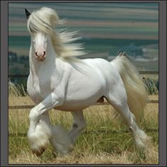 Image detail for -Gypsy Vanner
