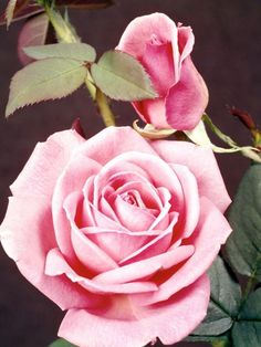Growing and caring for roses with epsom salt from The Old Farmer's Almanac.