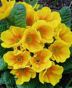 via BKLYN contessa :: Yellow primroses = Primula vulgaris Amazing Flowers, My Flower, Flower Power, Beautiful Flowers, Cactus Flower, Exotic Flowers, Yellow Flowers Names, Orange Flowers, Yellow Roses