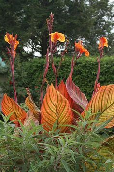 would love to add these to my collection of flower friends...  Tropicana Canna's