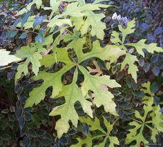 Ampelopsis serjaniaefolia