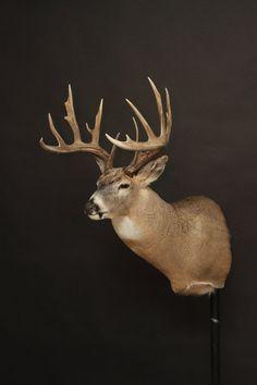 Whitetail Deer Hunting, Whitetail Bucks, Big Boyz, Deer Mounts, White Tail, Taxidermy, Antlers, Drawings, Drawing Ideas