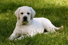 Who can resist a white lab puppy? - I know I can't...