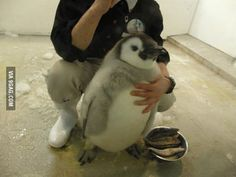 Husky Penguin