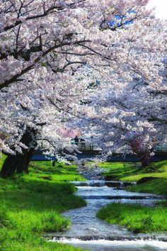 """7803: """"2017/05/03 07:33 #福島県 #猪苗代町 #観音寺川 EOS 5Dmk3/EF 24-105mm F4 L IS USM ISO250,F8,1/80秒,露出補正+0.3 #canon #EOS #5Dmk3 #eos5dmk3 """" Cherry blossoms in Inawashiro, Fukushima"""