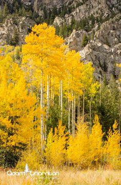 ***Aspen in fall colours (Colorado) by Adam Thornton / 500px c.
