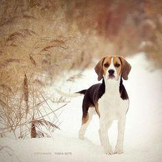 vintage Beagle by http://vadalein.deviantart.com