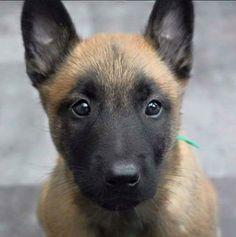 """My cute belgian malinois puppy"" by iergovic in aww"