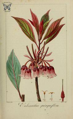 Evergreen Enkianthus. Herbier général de l'amateur, vol.… | Flickr