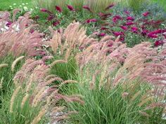 "Pennisetum orientale 'Karley Rose'.  36"", long blooming, winter hardy"