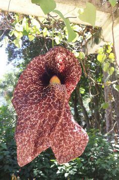 Papo de peru (Aristolochia gigantea) - Jardim Botânico  - Rio de Janeiro - Foto : Marília Vidigal Carneiro