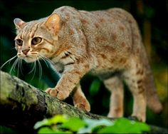 Rusty-spotted Cat (Prionailurus rubiginosus) along with the Black-footed Cat (Felis nigripes) and the Sand cat (Felis margarita) have all been called the smalled wildcats in various literature. Small Wild Cats, Big Cats, Cats And Kittens, Felis Margarita, Rusty Spotted Cat, Black Footed Cat, Wild Cat Species, Animals Beautiful, Cute Animals