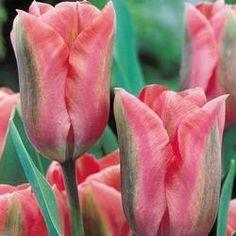 Tulip Palestrina | Parkers Wholesale