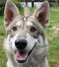 British Utonagan. Unique Dog Breeds, Rare Dog Breeds, Popular Dog Breeds, Beautiful Dogs, Simply Beautiful, Utonagan Dog, Adorable Animals, Funny Animals, Doggies
