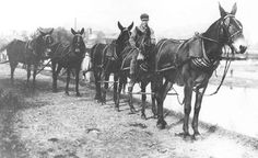 Mules were also used as much as horses in World War One.