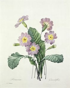 Primrose Print By Pierre Joseph Redoute