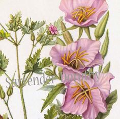 Debe ser verano; las prímulas de la tarde están todos en flor!  Extraídas de un libro hace mucho tiempo olvidado de América del norte flores silvestres desde la década de 1950, estamos orgullosos de presentar este encantador clásico americano de flores silvestres; la hermosa Oenothera speciosa; mejor conocido como el onagra vistosas y justo al lado de ella; el GERANIO ROBERTIANO, conocido por su popular horticultor Geranium robertianium.  Este magnífico de 8 x 10,25 mediados del siglo…