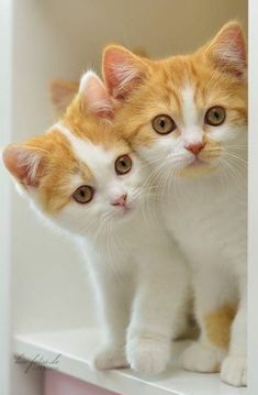 Cute Little Kittens, Cute Baby Cats, Cute Baby Animals, Kittens Cutest, Funny Animals, Pretty Cats, Beautiful Cats, Image Chat, Cute Cat Wallpaper