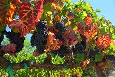 Colorful vineyard getting ready for harvest. / Mary Anne Veldkamp / Real Estate / www.maryanneveldkamp.com / 707-535-8803