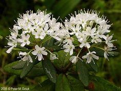 Rhododendron groenlandicum ECOSISTEMA: https://es.pinterest.com/GodEscaArQT/pantano-de-coniferas/