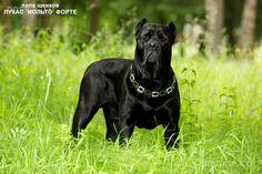 animals-dogs-cane-corso-1-1.800.jpg (870×579)
