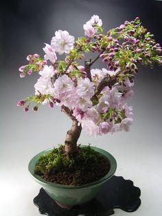 桜盆栽 八重桜の鉢植え I don't know what that said but this is beautiful!