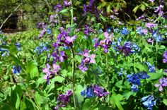 Plant of the Week: Lunaria annua | Wave Hill Blog