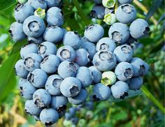 Superior Berries in Homerville, GA  produced over 5.5 million pounds of blueberries in 2012!