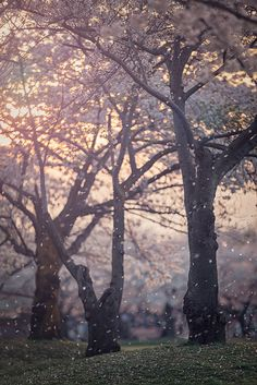 Hanafubuki - Cherry blossom blizzard, Japan
