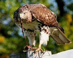 Red-tailed Hawk (With Prey)
