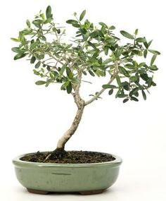 How Herb Back Garden Kits Can Get Your New Passion Started Off Instantly Bonsai Olive Tree Olive Tree Bonsai, Bonsai Tree Types, Bonsai Trees, Back Gardens, Outdoor Gardens, Olive Plant, Herb Garden Kit, Tree Base, Indoor Bonsai