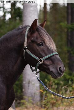 Finnhorse stallion Liptus Pony Breeds, Horse Breeds, All The Pretty Horses, Beautiful Horses, Animals Of The World, Animals And Pets, Horse Ears, All About Horses, Brown Horse