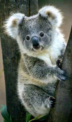 Weve gathered our favorite ideas for Koala Bear Koalas Cute Animals Animals Beautiful Animals, Expl Cute Little Animals, Cute Funny Animals, Koala Baby, Cute Koala Bear, Baby Pandas, Baby Giraffes, Baby Otters, Australian Animals, Tier Fotos